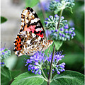 Painted Lady Butterfly by Margie Wildblood