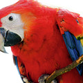 Parrot by Hristo Shanov
