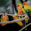 Parrots by Hristo Shanov
