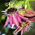 Passiflora by Elvira Ladocki