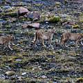 Patagonia Pumas by Walt Sterneman
