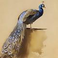 Peacock by Mountain Dreams