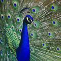 Peacock by Jill Lang