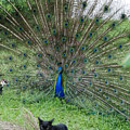 2 Peacocks And A Black Pussy Cat by Rob Hans