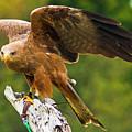 Peregrine Falcon by Bill Barber