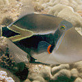 Picasso Triggerfish by Dave Fleetham - Printscapes