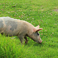 Pig In A Pasture by Robert Hamm