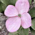 Pink Dogwood by Sally Falkenhagen