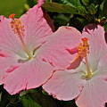 2 Pink Hibiscus by Eddie Freeman