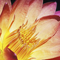 Pink Water Lily by Bill Brennan - Printscapes