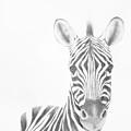 Plains Zebra by Andrea Angulo