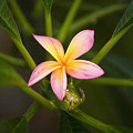 Plumeria Blossom by Ron Dahlquist - Printscapes