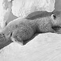 Polar Bear Cub by Granger