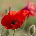 Poppies In Field In Spring by Perry Van Munster