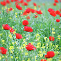 Poppy Flowers Meadow Spring Season by Goce Risteski