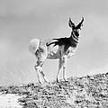 Prong-horn Antelope by Granger