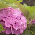 Purple Hydrangea At Rainy Garden In June, Japan by Eiko Tsuchiya