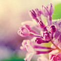 Purple Spring Lilac Flowers Blooming Close-up by Michal Bednarek