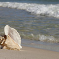 Queen Conch On The Beach by Anthony Totah