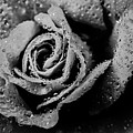Raindrops On Rose by Thomas R Fletcher