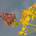 Red Admirable Butterfly by Buddy Mays
