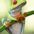 Red Eyed Tree Frog by Kim Gates