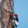 Red Headed Woodpecker by Rich Leighton