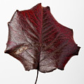 Red Leaf 4 by Robert Ullmann