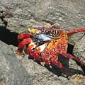 Red Rock Crab by Patti Valenti