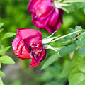 Red Rose Bud by Humorous Quotes