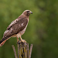 Red-tailed Hawk by Doug Herr