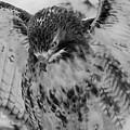 Red-tailed Hawk In Snow by Joye Ardyn Durham
