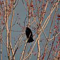 Red-winged Blackbird by Linda Crockett
