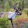 Reindeer by Aivar Mikko