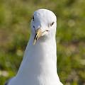 Ring Billed Gull by Allan  Hughes
