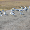 Ring Billed Gulls  by Ruth Housley