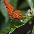 Ruddy Daggerwing Butterfly by Krista Russell