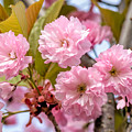 Sakura Flowers by Alain De Maximy