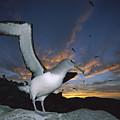 Salvins Albatross At Sunset by Tui De Roy
