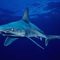 Sandbar Shark by Dave Fleetham - Printscapes
