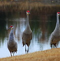 Sandhill Crane Family By Pond by Carol Groenen