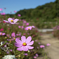 Sensation Cosmos Bipinnatus Fully Bloomed Colorful Cosmos On M by Eiko Tsuchiya