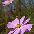 Sensation Cosmos Bipinnatus Fully Bloomed Pink Cosmos At Garde by Eiko Tsuchiya