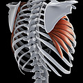 Serratus Muscle by Science Picture Co