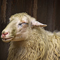 Sheep by Angela Doelling AD DESIGN Photo and PhotoArt