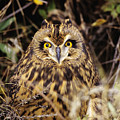 Short-eared Owl by John Hyde - Printscapes