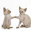 Siamese Cat Kittens by Jean-Michel Labat