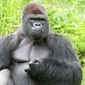 Silverback Gorilla by Bruce Beck