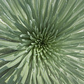 Silversword, Haleakala by Ron Dahlquist - Printscapes