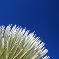 Silversword Plant by Ron Dahlquist - Printscapes